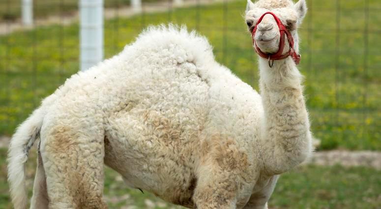 Albino Camel