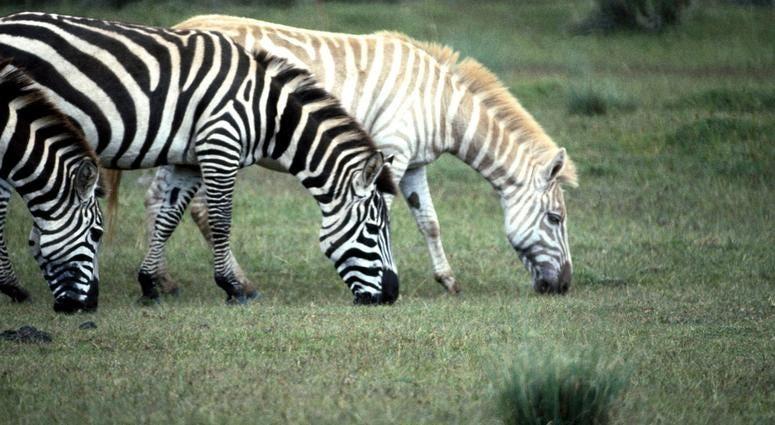 Albino Zebra