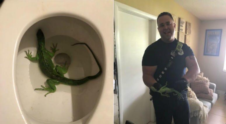 Florida man finds bright green iguana in toilet