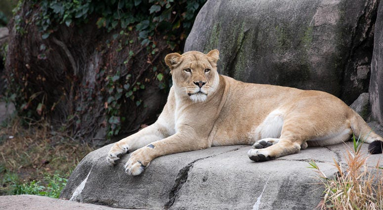 Kamali, Lincoln Park Zoo female lion