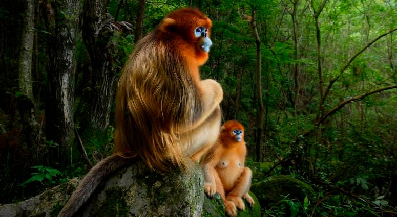 As a group of Qinling golden snub-nosed monkeys jumped from tree to tree in the forests of Shaanxi Province, China, the photographer Marsel van Oosten struggled to keep up. Gradually, he learned to predict the monkeys' behavior.