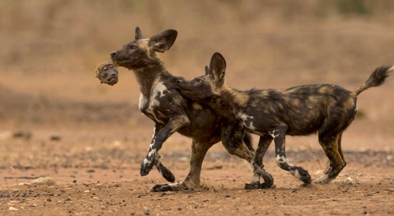 Two African wild dog puppies (aka painted wolf) in northern Zimbabwe play with the remains of their breakfast—the head of a chacmababoon