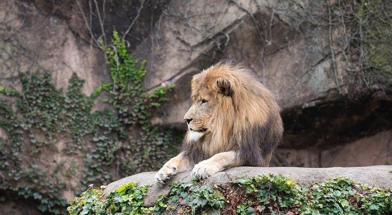 Sahar, Lincoln Park Zoo male lion