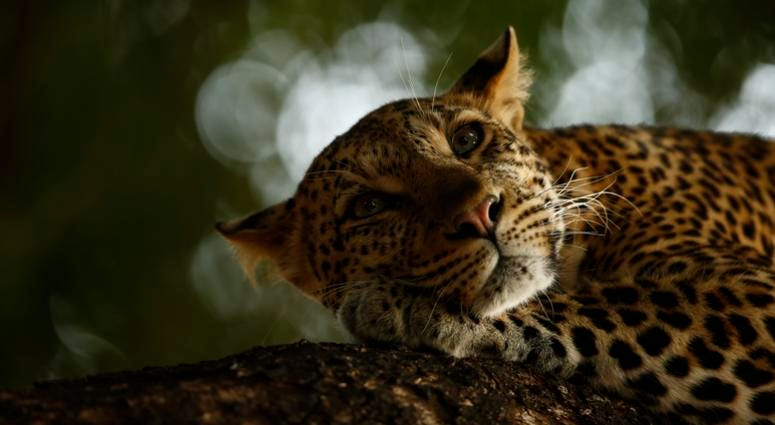Skye Meaker, age 15, photographed this sleepy leopard in the Mashatu Game Reserve of Botswana. Due to habitat loss and illegal trade, leopards are now considered vulnerable.