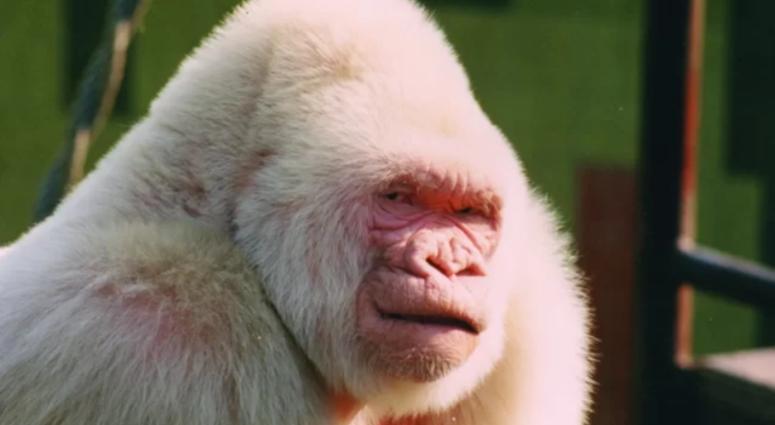 Albino Gorilla, Snowflake