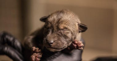 he arrival of spring also brings a litter of four critically endangered red wolf pups at Pritzker Family Children's Zoo at Lincoln Park Zoo.