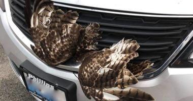 Hawk stuck in car grill