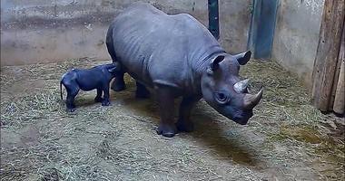 Lincoln Park Zoo announces birth of black rhinoceros