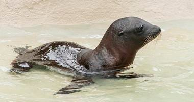 Charger, a month-old California sea lion pup made his public debut at Brookfield Zoo. He can be seen exploring his habitat at the zoo's Pinniped Point.