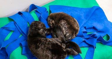 Two orphaned southern sea otter pups enjoy nap time at the Shedd Aquarium