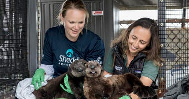 The Shedd Aquarium announced Thursday that it has taken in two orphaned southern sea otter pups that were rescued by California's Monterey Bay Aquarium.