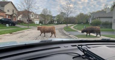 Bulls Found Walking Near Route 59 In Lake County