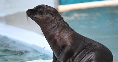 A California sea lion pup born at Brookfield Zoo. Born on June 10, the male pup is currently behind the scenes bonding with his mom and learning how to swim.