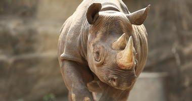 13-year-old female eastern black rhinoceros Kapuki