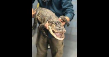 Alligator captured in Humboldt Park lagoon