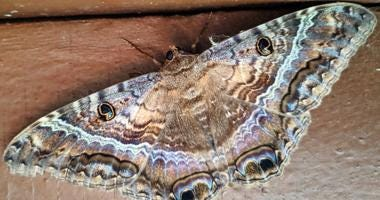 Black Witch Moth found in Chicago's South Shore neighborhood