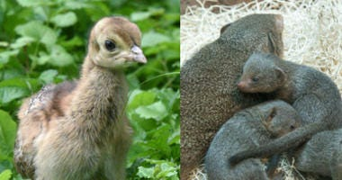 Brookfield Zoo Welcomes Dwarf Mongoose Pups and Peafowl Chicks