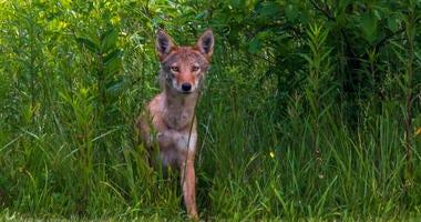 Coyote File
