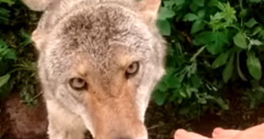 Coyote Luna