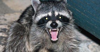 Raccoon Growling