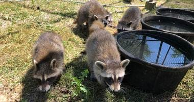 A DuPage County animal rehab center says it is temporarily at capacity for a couple of different kinds of baby animals.
