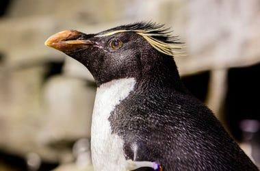 Wellington_Penguin