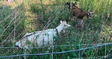 """Goatscaping from """"Let's Goat Buffalo"""" clears vegetation behind Silo City. July 10, 2020 (WBEN Photo/Mike Baggerman)"""