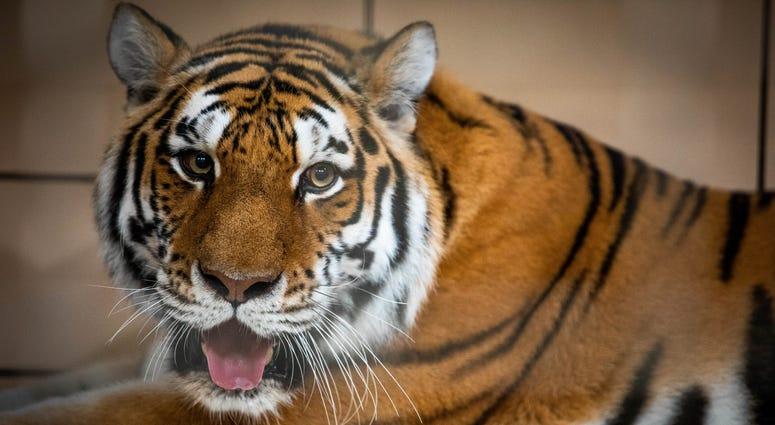 Zhanna the Amur Tiger