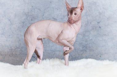 shaved dog
