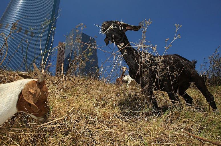 Urban Goats