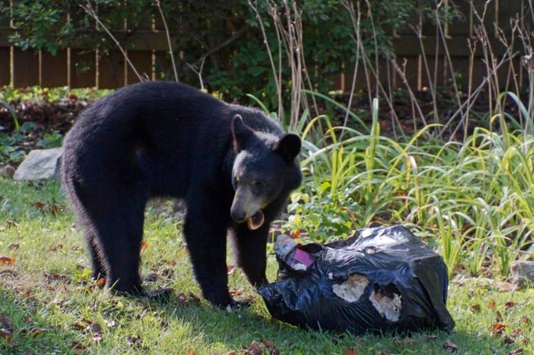Bear rooting through trash