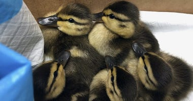 five ducklings in central park