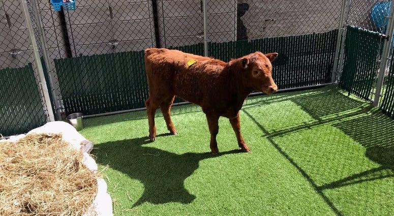 Bronx Cow