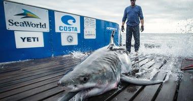 Cabot the Shark