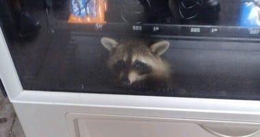 Vending Raccoon