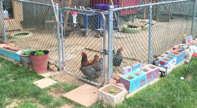 Town Of Babylon Residents Fight To Keep Chickens In Backyards