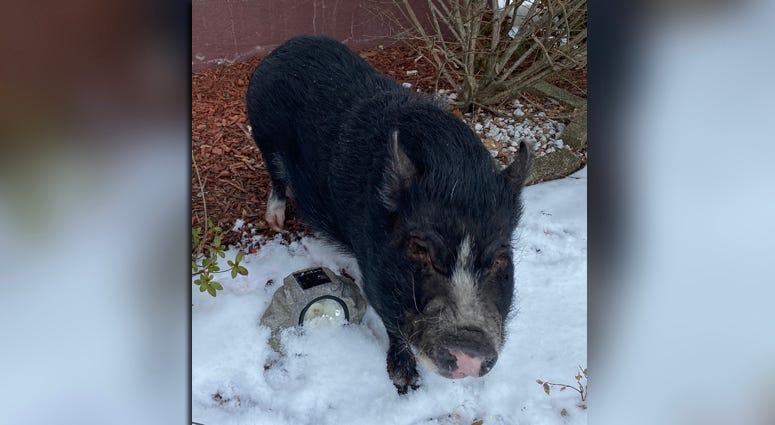 Swag The Piggy