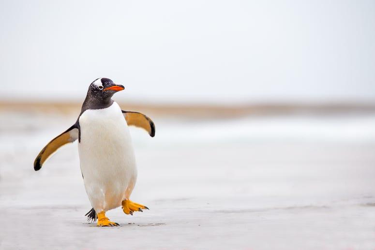 Penguin waddling on the beach.