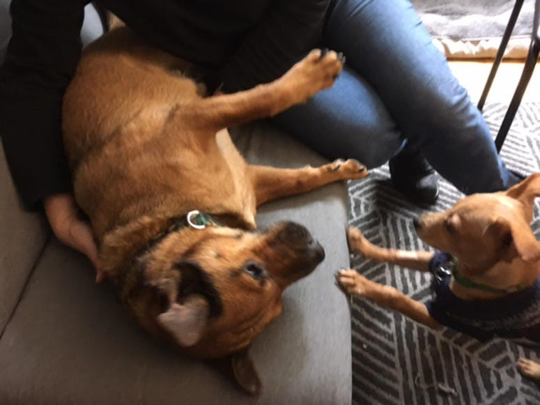 Nacho and Mario -- dogs rescued from Puerto Rico