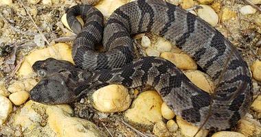 Two-headed snake