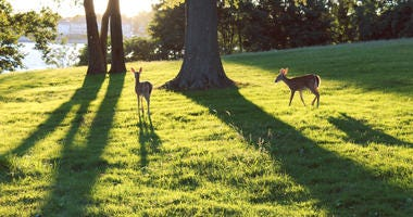 Deer On Staten Island