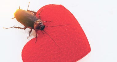 Cockroach with heart