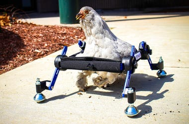 """In this provided by Mikayla Feehan and taken on April 3, 2019, a pet chicken named Granite Heart tests out a custom wheelchair made by Walkin' Pets in Amherst, N.H. On a recent SNL episode, the television show's """"Weekend Update"""" co-host said she should """"j"""