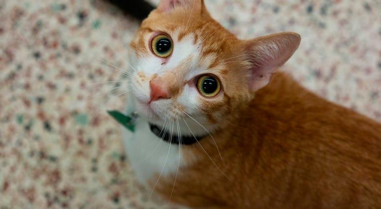 Cat: Apollo