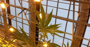 Marijuana growing in Minnesota for medicine