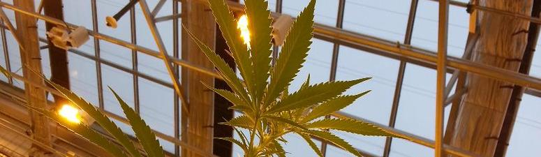 Marijuana growing in Minnesota for medicine