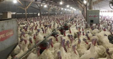 Melrose Turkey Farms (11/26/2019)
