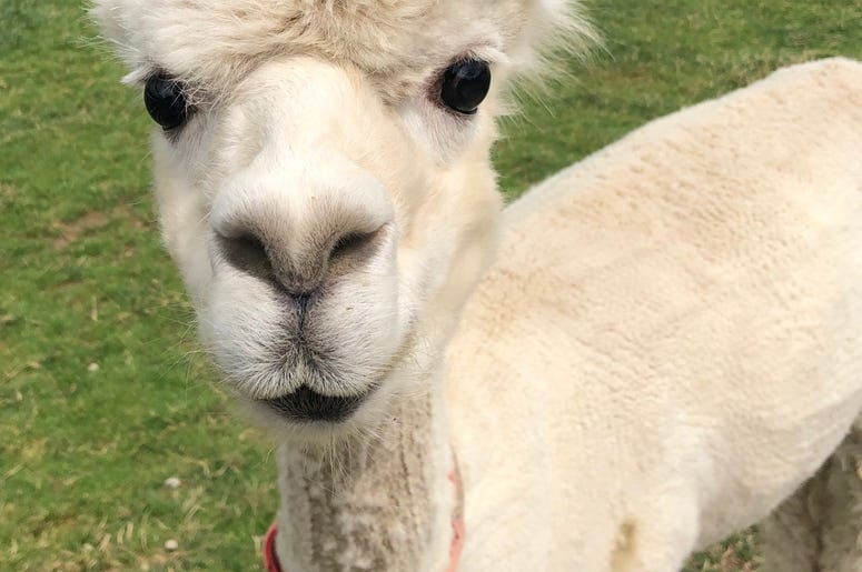 Medina Alpaca Farm