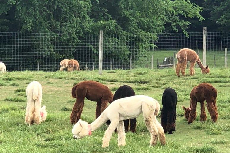 Alpaca Farm Medina