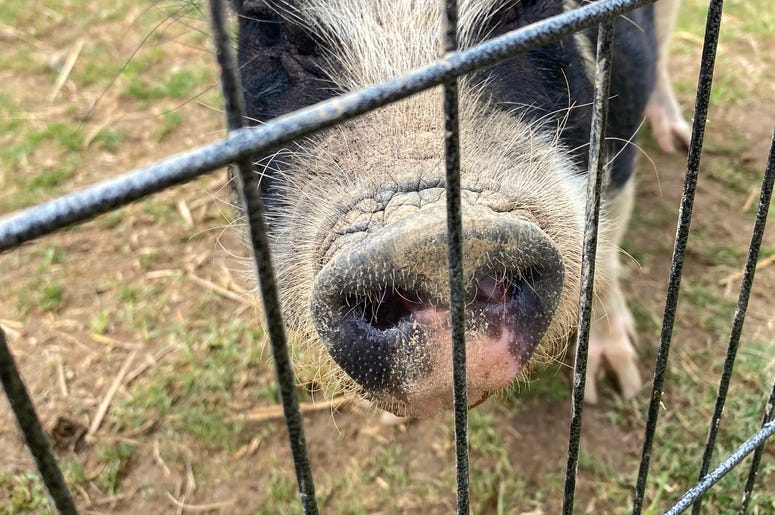 Majestic Meadows Pig